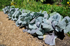 Cabbage plants royalty free stock photo