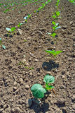 Cabbage Plants Stock Photos