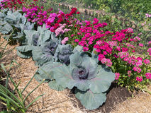 Cabbage plants Royalty Free Stock Image