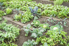 Cabbage Plants Stock Images