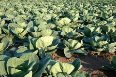 Cabbage Production Royalty Free Stock Photo