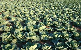 Cabbage Production Stock Photography