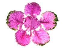 Cabbage purple Stock Photo