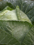 Cabbage with rain drops Royalty Free Stock Photo