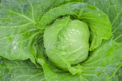 Cabbage with rain drops Stock Images
