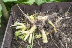Cabbage Rhizome. In a garden compost bin Stock Photography