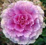 cabbage rose 1 Stock Photo