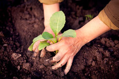 Cabbage seedlings in farmer's hands Royalty Free Stock Image