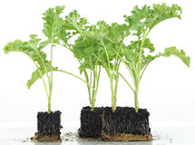 Cabbage seedlings growing into cubes Stock Image