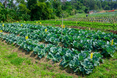 Cabbage seedlings planted in a garden Royalty Free Stock Image