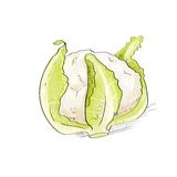 Cabbage sketch color drawing isolated over white Stock Image