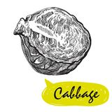 Cabbage sketch. harvesting Royalty Free Stock Image