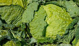 Cabbage in street market Stock Images