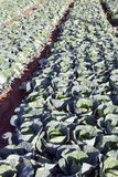 Cabbage in the Sunlight. Dusky colored cabbages ready fro fall harvest in the evening sun Royalty Free Stock Image