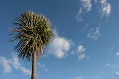 Cabbage Tree. The Cabbage Tree or Cordyline australis is a Native tree in New Zealand, and is common in wetlands, and swampy areas. On Blue sky background, later stock photos