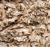 Cabbage Tree Bark Texture. A close up of a bark texture pattern on a cabbage tree Stock Photos