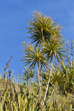 Cabbage tree in bloom. Stock Photo