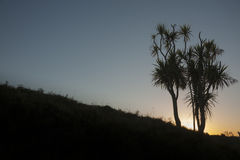 Cabbage tree or cordyline at sunrise. Stock Image