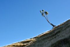 Cabbage Tree on a hill Stock Photos