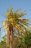 Cabbage tree Royalty Free Stock Photos