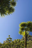 The cabbage tree is one of the most distinctive trees in New Zealand Royalty Free Stock Photography
