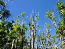 Cabbage tree palms Stock Photos
