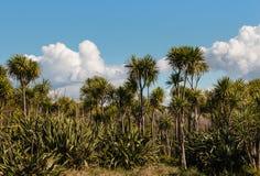 Cabbage trees and New Zealand flax bush Stock Photo