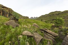 Cabbage trees and rocks. Drakensberg South Africa Royalty Free Stock Images