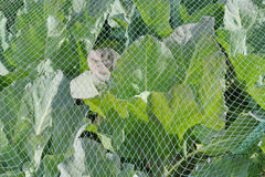 Cabbage under a protective net. Royalty Free Stock Images