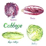 Cabbage variety set: Rediccio, Treviso, Nappa Cabbage, Iceberg. Isolated hand painted watercolor illustration Stock Images