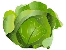 Cabbage Vector Illustration. Beautiful green cabbage Vector Illustration royalty free illustration