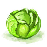 Cabbage vector illustration  hand drawn  painted Royalty Free Stock Photo