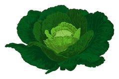 Cabbage. Vector Royalty Free Stock Photos