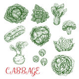 Cabbage vector sketch icons of vegetables. Cabbage vegetables vector sketch icons set. Isolated sorts of white or red cabbage, chinese napa and romanesco vector illustration