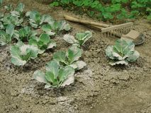 Cabbage vegetable bed Royalty Free Stock Photography