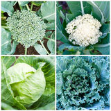 Cabbage on  vegetable bed. Collection of different cabbage in  garden Stock Photos