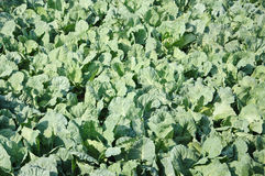 Cabbage vegetable field Stock Photography