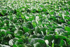 Cabbage vegetable in field Stock Photos
