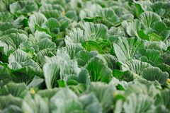 Cabbage vegetable in field Royalty Free Stock Images