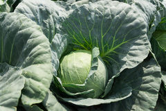 Cabbage vegetable in field Stock Image