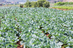 Cabbage Vegetable Field,  Farm in Da Lat city Stock Images