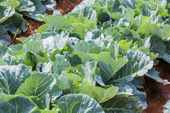 Cabbage Vegetable Field Farm Royalty Free Stock Photography