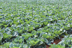 Cabbage Vegetable Field Farm Stock Photography