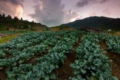 Cabbage vegetable field at Kundasang, Sabah, Malaysia Stock Images