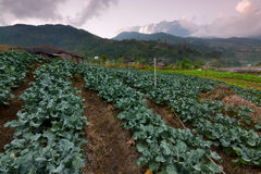 Cabbage vegetable field with Mount Kinabalu at the background in Kundasang, Sabah, Malaysia Stock Images
