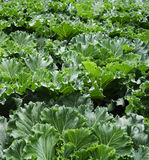 Cabbage Stock Images