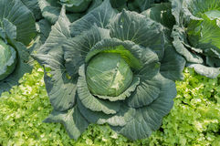 Cabbage in the vegetable garden. Top view. Cabbage in the vegetable garden Stock Photography