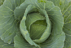 Cabbage vegetable with leafs Stock Photo