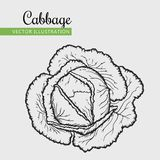 Cabbage. Vegetarian food. Hand drawn isolated cabbage.  Vector vintage vegetables illustration.  Can be used for wrapping paper, street festival, farmers market Stock Photos