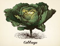 Cabbage vintage illustration vector Stock Photo